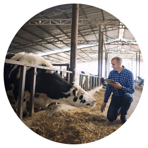 Chăn nuôi gia súc tại Canada